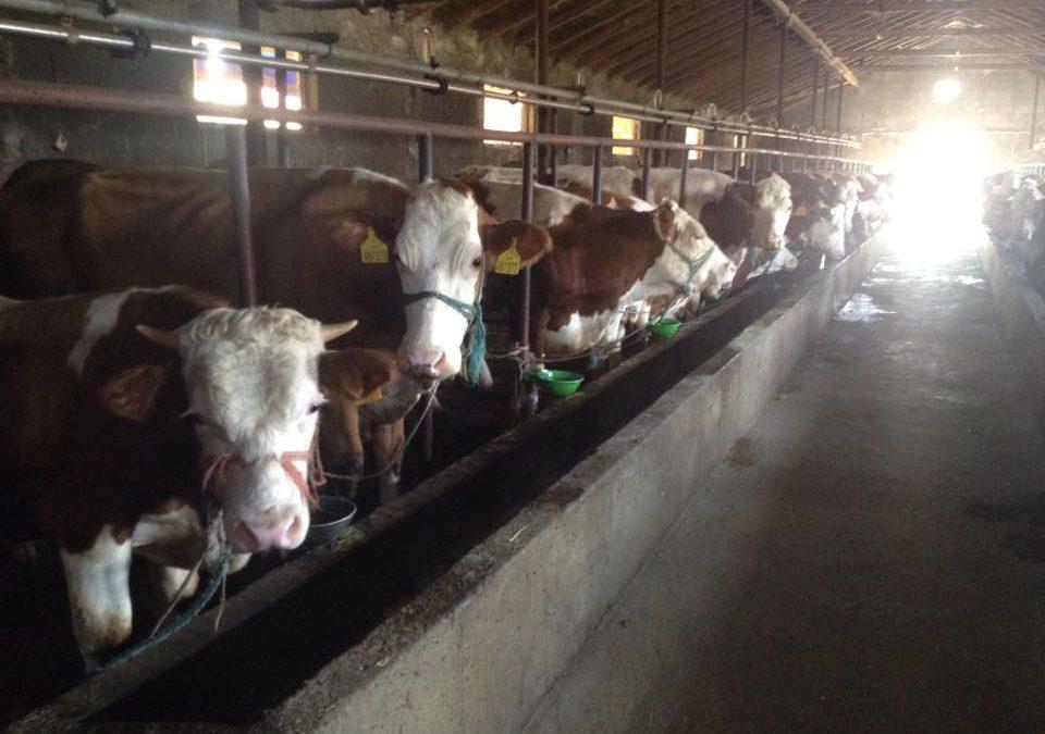 Prodhuesit e qumështit: Shteti nuk po na mbështet, kompanitë private po na zhvasin